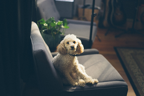 A cream-coloured poodle looks at the camera as it sits on a grey couch