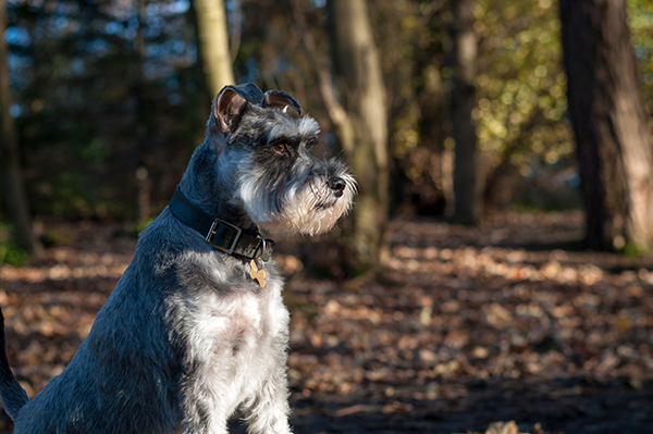A grey schnauzer is sitting outside looking off to the side