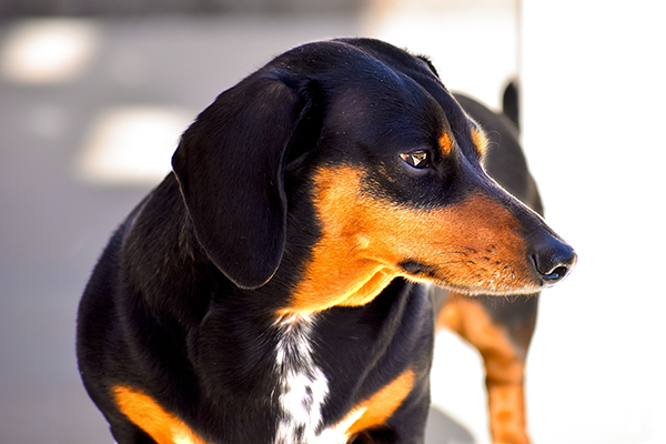 A black and tan dachshund looks off to the side